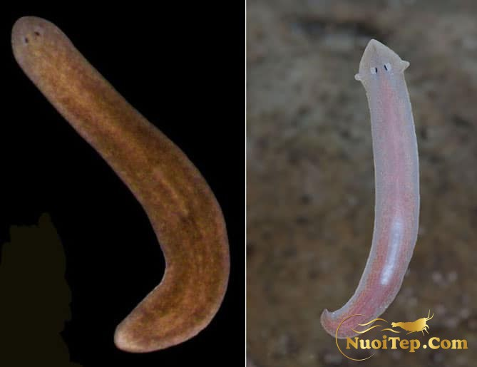 White and brown planaria